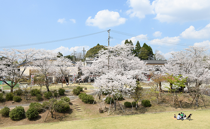 曽木の滝公園 桜