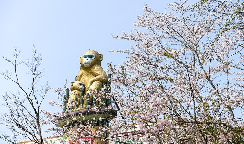 曽木の滝公園の桜